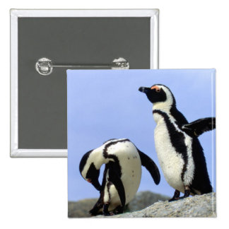 South Africa, Simons Town. Jackass Penguins 2 Inch Square Button