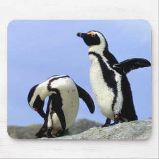 South Africa, Simons Town. Jackass Penguins Mouse Pad
