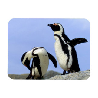 South Africa, Simons Town. Jackass Penguins Magnets