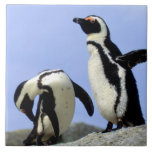 "South Africa, Simons Town. Jackass Penguins Tile<br><div class=""desc"">COPYRIGHT Claudia Adams / DanitaDelimont.com   AF42 CAD0035.jpg   South Africa,  Simons Town. Jackass Penguins (Phalacrocorax capensis) on top of rock.</div>"