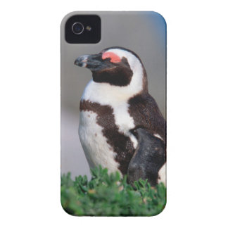 South Africa, Simons Town. Sleeping Jackass iPhone 4 Cover