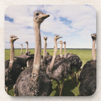 South Africa, View of ostrich Drink Coaster