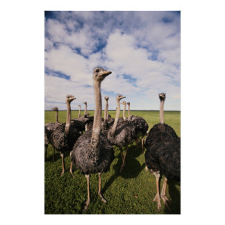South Africa, View of ostrich Poster