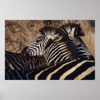 South Africa, View of Zebra (Equus Burchellii) Poster