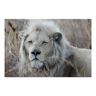 South Africa White Lion resting Poster