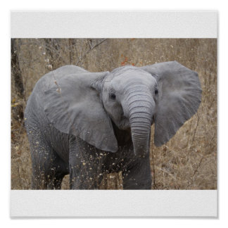 South African Baby Elephant Posters