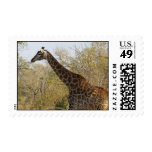 South African Giraffe Postage Stamps