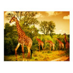South African giraffes Post Cards