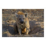 South African Hyena Posters