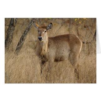 South African Impala Card