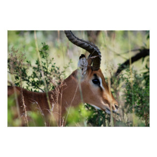 South African Impala profile Poster