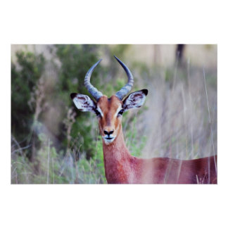 South African Impala profile Print