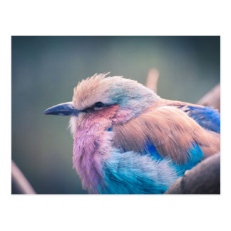 South African Lilac-Breasted Roller Postcard