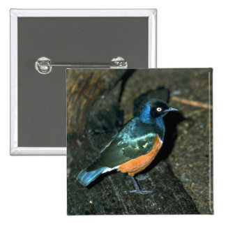 South African starling Button