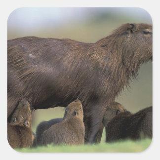 South America, Brazil, Pantanal Capybara Square Sticker