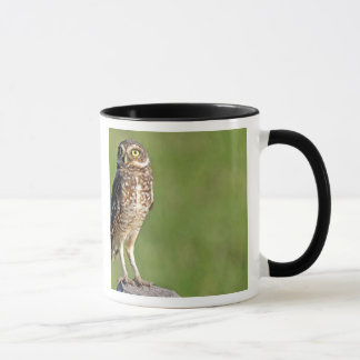 South America, Brazil, Pantanal.  The Burrowing Mug