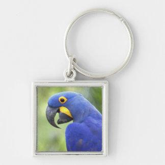 South America, Brazil, Pantanal. The endangered Keychain