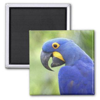 South America, Brazil, Pantanal. The endangered Fridge Magnet