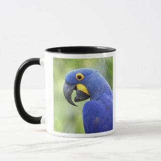 South America, Brazil, Pantanal. The endangered Mug