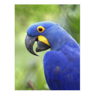 South America, Brazil, Pantanal. The endangered Postcard