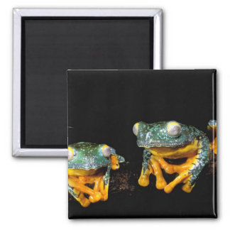 South America, Ecuador, Amazon. Leaf frogs 2 Inch Square Magnet