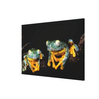 South America, Ecuador, Amazon. Leaf frogs Canvas Print