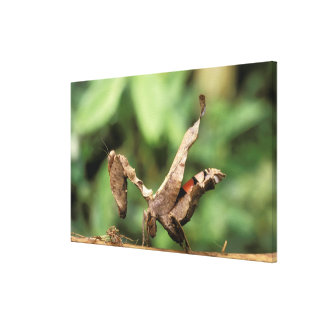 South America, Ecuador, Amazon. Praying Mantis Canvas Print