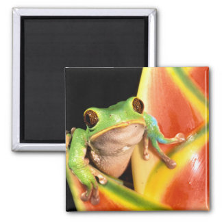 South America, Ecuador, Amazon. Tree frog 2 Inch Square Magnet