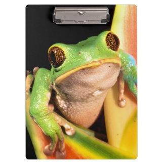 South America, Ecuador, Amazon. Tree frog Clipboard