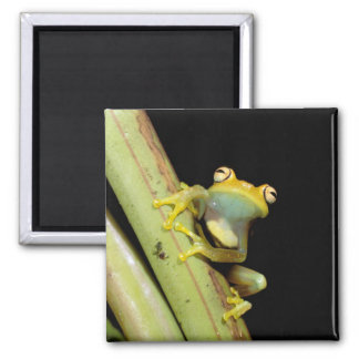South America, Ecuador, Amazon. Tree frog (Hyla 2 Inch Square Magnet