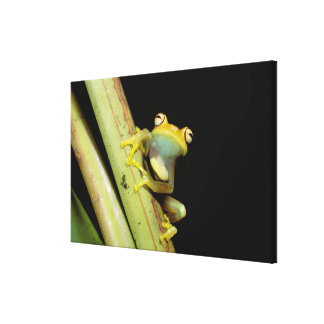 South America, Ecuador, Amazon. Tree frog (Hyla Canvas Print