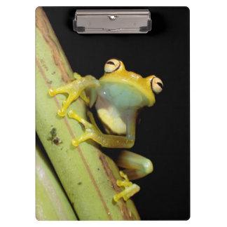 South America, Ecuador, Amazon. Tree frog (Hyla Clipboard