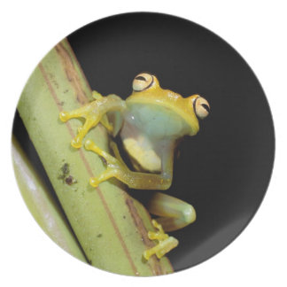 South America, Ecuador, Amazon. Tree frog (Hyla Dinner Plate