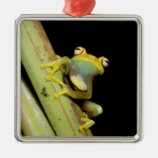 South America, Ecuador, Amazon. Tree frog (Hyla Metal Ornament