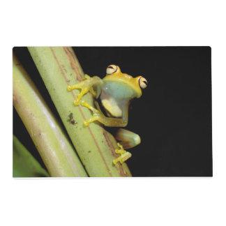 South America, Ecuador, Amazon. Tree frog (Hyla Placemat