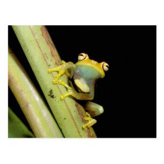 South America, Ecuador, Amazon. Tree frog (Hyla Postcard