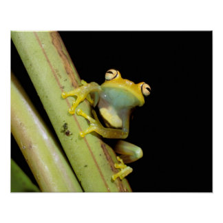 South America, Ecuador, Amazon. Tree frog (Hyla Poster