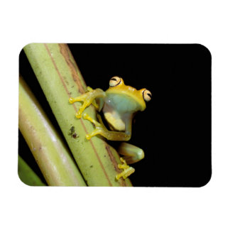 South America, Ecuador, Amazon. Tree frog (Hyla Rectangular Photo Magnet