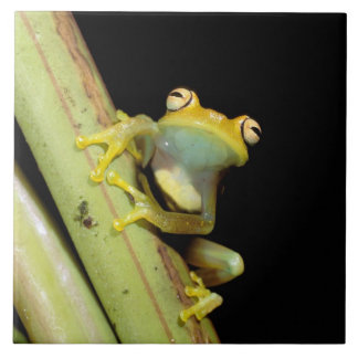 South America, Ecuador, Amazon. Tree frog (Hyla Tile