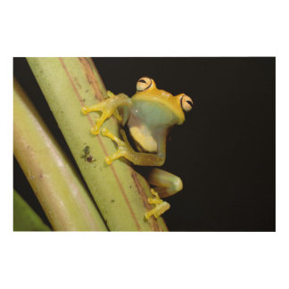 South America, Ecuador, Amazon. Tree frog (Hyla Wood Wall Decor