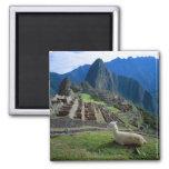South America, Peru. A llama rests on a hill 2 Inch Square Magnet