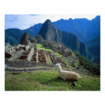 South America, Peru. A llama rests on a hill Photo Print