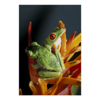South America. Red-eyed tree frog Agalycmis Poster