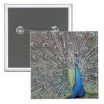 South America, Venezuela,  Peacock displaying Button
