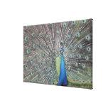 South America, Venezuela,  Peacock displaying Canvas Print