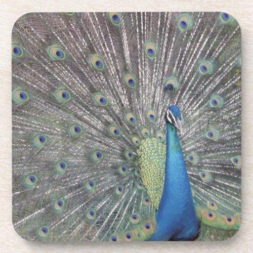 South America, Venezuela,  Peacock displaying Coaster