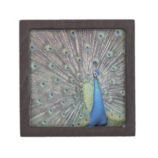 South America, Venezuela,  Peacock displaying Jewelry Box