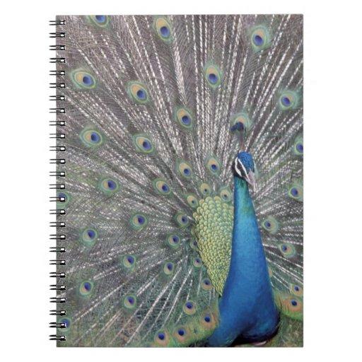 South America, Venezuela,  Peacock displaying Notebook