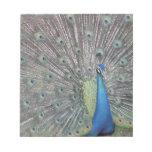 South America, Venezuela,  Peacock displaying Notepad