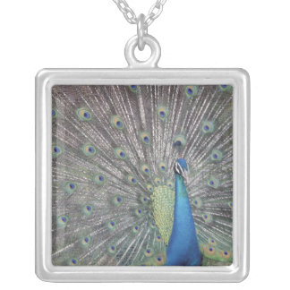 South America, Venezuela,  Peacock displaying Silver Plated Necklace
